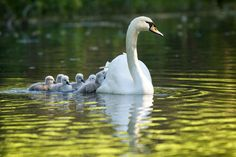 All aboard! - Swan and cygnets