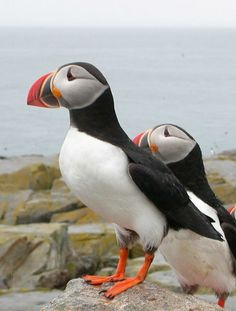 THE PUFFIN COMEBACK-the amazing story of how Atlantic puffins had nearly vanished from the Maine coast until a young biologist defied conventional wisdom to lure them home. You can read the article from Smithsonian here.  Hard to believe these adorable birds were eaten and used for bait to the point of being endangered #GoWithGraco and #Sweepstakes