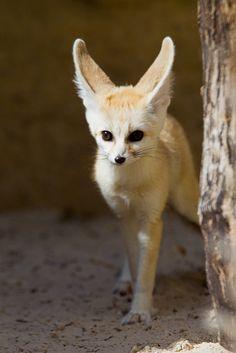 104 Best Fennec Fox Images Cut Animals Cutest Animals Foxes