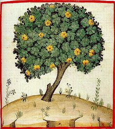 Quince tree. The Theatrum of the Casanatense Library - late 14th century