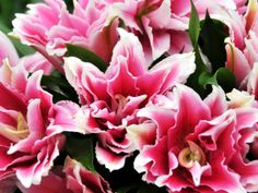 Flower Talk double lily