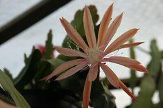 "Epiphyllum Blattkakteen Epicactus ""Jessica Paetz"" Steckling Plants, Cacti, Succulents, Pictures, Plant, Planets"