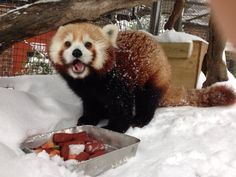 #Blizzard2016 doesn't stop the red pandas! Their feet are completely covered in thick fur.