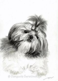 Dogs Shih tzu rule Sharing is caring, don't forget to share ! Havanese Puppies, Cute Puppies, Cute Dogs, Dogs And Puppies, Doggies, Retriever Puppies, Labrador Retriever, Shih Tzu Mix, Shih Tzu Puppy