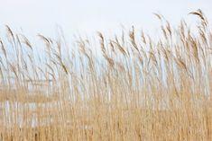 El viento en calma pasa por las tierras de cultivo y sobre su cosecha, vislumbre agua detrás del maíz de color amarillo y del cielo color azul claro, lleno de esperanza por los buenos tiempos venideros.