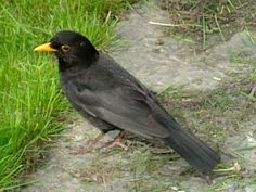 Koltrast Common blackbird - дрозд