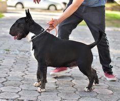 Chien Bull Terrier, Mini Bull Terriers, Bull Terrier Puppy, English Bull Terriers, English Pitbull, Black Pitbull, Celebrity Dogs, Crazy Dog, Blue Ribbon