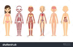 Female Body Anatomy Chart: Skeletal, Muscular, Circulatory, Nervous And Digestive Systems. Flat Cartoon Style. Stock Vector Illustration 304990607 : Shutterstock