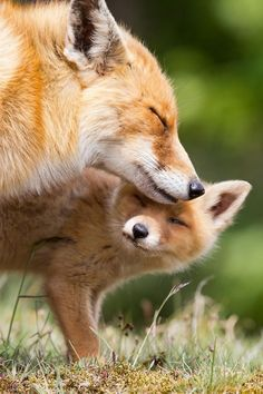 Foxes | Cutest Paw