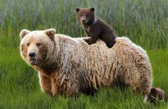 From Mild to Wild: How to See Alaska's National Parks Lake Clark National Park Bear Viewing - From Mild to Wild: How to See Alaska's National Parks Alaska National Parks, Katmai National Park, Bear Pictures, Animal Pictures, Cute Baby Animals, Animals And Pets, Photo Ours, Love Bear, Tier Fotos