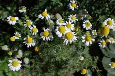 Growing Chamomile: should be planted in part shade Spring