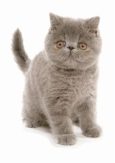 Exótico de pelo curto - O preguiçoso entre os persas, estes felinos odeiam pelos longos, mas são perfeitos para aqueles que gostam de gatos persas