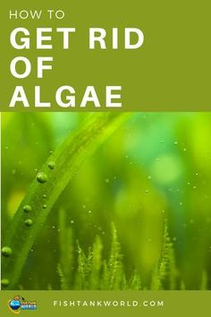 Algae Control – How to Get Rid of Algae in Your Fish Tank Get rid of algae is a common problem among aquarists. There are many types of algae and many way to get rid of them and maintain the aquarium clean. Aquarium Algae, Tropical Fish Aquarium, Tropical Fish Tanks, Aquarium Fish Tank, Planted Aquarium, Aquarium Ideas, Aquarium Design, Aquarium Kit, Nature Aquarium