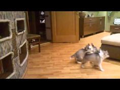 Husky Mama Does The Most Adorable Thing After Her Puppies Wake from Nap!