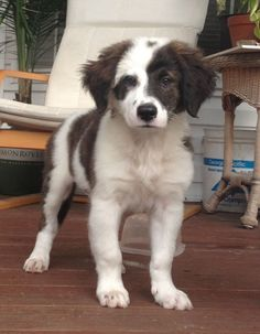 Saint Bernard / Australian Shepherd mix so cute! Pets, Pet Dogs, Dog Cat, Pet Pet, Australian Shepherds, Blue Merle, Cute Cartoon Animals, Cute Animals, Baby Animals