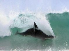 Orca surfing- as it should be #Blackfish documentary