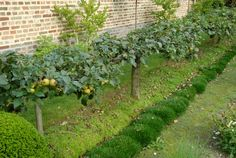 In winter plant the one-year-old, one-metre high, single-stemmed apples at 45 degrees, about 1.5 metres apart. Tie them on to the wire. The picture, above, taken in France, shows apples planted straight, not at 45 degrees. Bob says the angled planting works better.  4.In summer prune the upward growing growth back to a stub. These stubs will become fruiting spurs.  5.The trees will flower in the spring, develop their fruit over summer and be ready to harvest in late autumn