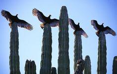 Vautours urubu au Mexique