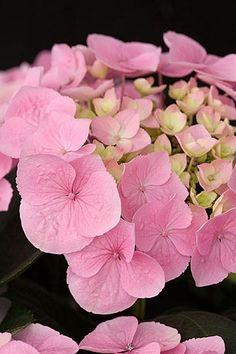 Hydrangea La Vie en Rose =)