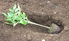 How to plant tomatoes for best results.