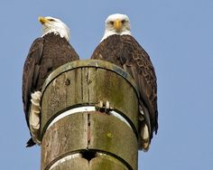 <3<3Pair of Bald Eagles .......They are the national emblem of the United States, and when it comes to maintaining relationships, bald eagles soar much higher than the country they symbolize. Bald Eagles typically mate for life -( except in the event of their partner's death or impotency} — a number far lower than America's divorce rate, which now exceeds 50 percent.