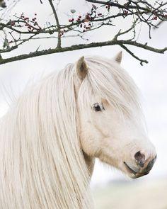 """337 gilla-markeringar, 2 kommentarer - Nina Bergstrand (@nibefoto) på Instagram: """"Handsome palomino pinto Alfur #horsesoficeland #instahorse #islandshäst #equinephotographer…"""""""