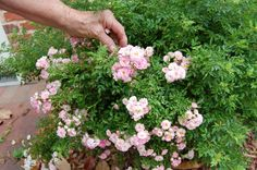 https://flic.kr/p/7YutyJ | Minature Roses | Mom showing how small these little roses are. Found behind the Poe House which is next to the Museum of the Cape Fear in Fayetteville, North Carolina.