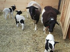 Dorpers - Hair Sheep Ewes and Lambs