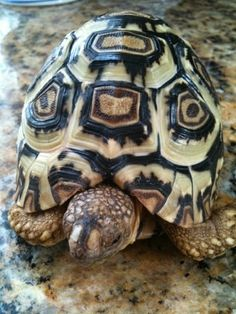 Leopard tortoise (Stigmochelys pardalis), the fourth largest species of tortoise in the world
