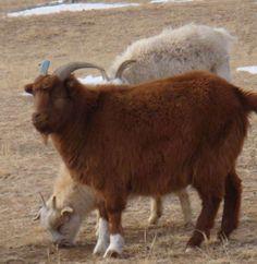 The Mongolian Cashmere goat (Image: Cashmere Fibres International) Downy, Soft Hair, Cashmere Wool, Alpaca Wool, Goats, Paisley, Textiles, Antiques, Shawls