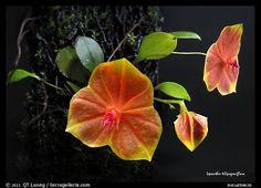 Lepanthes telipogoniflora plant. A species orchid (color)