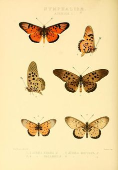 Plate from 'Rhopalocera Exotica' being illustraions of new, rare, and unfigured species of butterflies by H. Grose Smith and W.F...