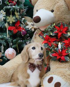 Christmas Dachshund, Pet Lovers, Dachshunds, Labrador Retriever, Wonderland, Best Friends, Miniatures, Pets, Animals