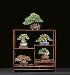 Mini Bonsai (Mame) displayed
