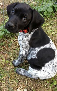 Black And White German Shorthaired Pointer | Black German Shorthair Pointer