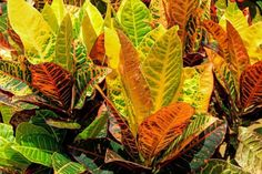 Learn what causes a croton plant to drop its leaves and how to fix it. Top croton plant care tips to keep your Codiaeum variegatum looking stunning. Clusia, Crassula Ovata, Echeveria, Croton Plant Care, Myrtle Tree, Florida Plants, Smart Garden, House Plant Care, Garden Guide