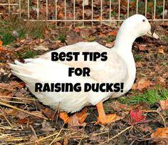 Raising Ducks – My best tips to guide you towards successfully raising ducks.