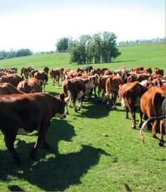 grain fed cattle, Charrua Ranch, Uruguay ~ GR2Food.