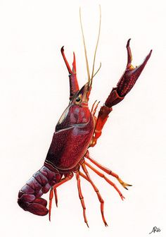 Lobster - Natural Science Illustration by Ana Rodrigues, via Behance Crab Art, Fish Art, Science Art, Science And Nature, Lobster Art, Louisiana Art, Sea Life Art, Science Illustration, Sea Fishing