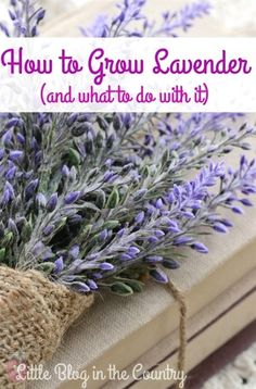 Wondering about how to grow lavender? This post will help you with growing it and suggestions on how to use it.  #FlowerGarden