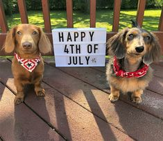 Happy 4 Of July, 4th Of July, Miniature Dachshunds, Cute Animals, Miniatures, Sausage Dogs, Weiner Dogs, Animales, Pretty Animals