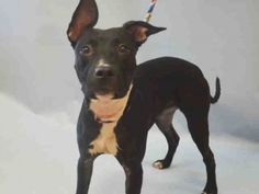 Manhattan Center PO – A1051615  FEMALE, BLACK / WHITE, PIT BULL MIX, 8 mos OWNER SUR – EVALUATE, NO HOLD Reason LLORDPRIVA Intake condition EXAM REQ Intake Date 09/15/2015, From NY 10025, DueOut Date 09/15/2015, Urgent Pets on Death Row, Inc