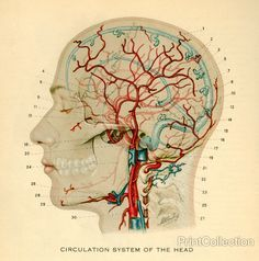 Drawing of the circulation system of the head. Image from a book on the Atlas of Human Anatomy.