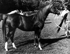 AMAVEDA 1966 chestnut mare (Count Rapello x Samaveda, by Blue Domino)
