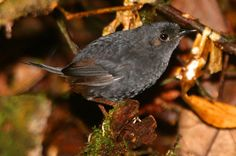 Bahian Mouse-Colored Tapaculo: New Bird Species Discovered in Brazil | Biology | Sci-News.com
