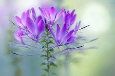 Spider Flower by Jacky Parker - Photo 92043243 - 500px