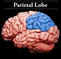 psychology parietal lobe Psychology definition for parietal lobe in normal everyday language, edited by psychologists, professors and leading students help us get better.