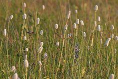 Bistort (Polygonum Spp.) in British Columbia