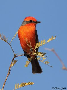 Vermilion Flycatcher Photo - Photograph - Picture
