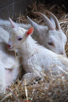 Lulu and Juno Farm Sanctuary. Rescued in 2010. Farm Sanctuary is committed to ending cruelty to farm animals and promoting compassionate vegan living through rescue, education, and advocacy efforts. Please join us. A compassionate world begins with you! http://www.farmsanctuary.org